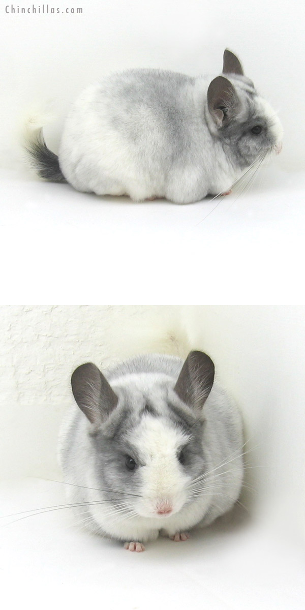 11121 Splotchy White Mosaic ( Violet & Ebony Carrier ) Female Chinchilla