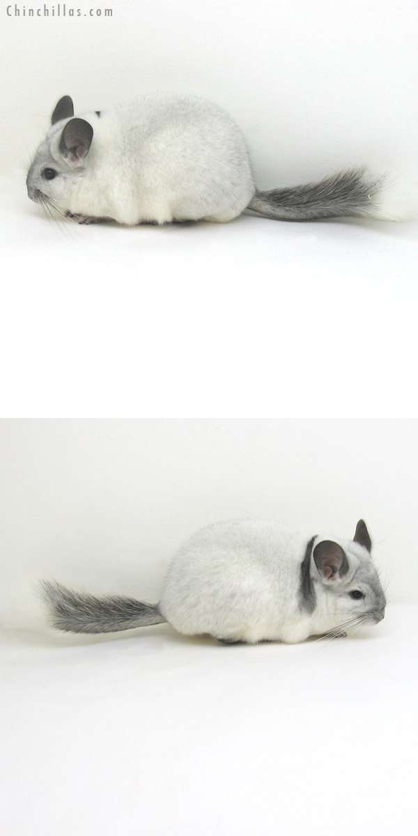 11124 Extreme White Mosaic Female Chinchilla