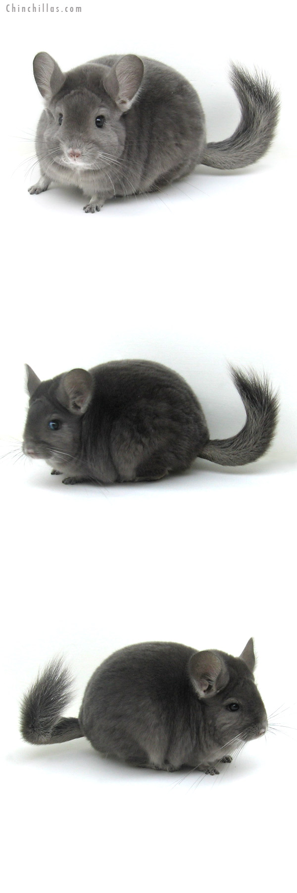 11130 Blocky Premium Production Quality Wrap around Violet Female Chinchilla