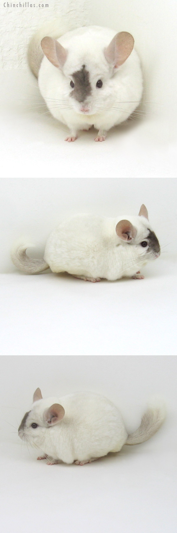 11129 Show Quality Extreme Beige and White Mosaic Male Chinchilla