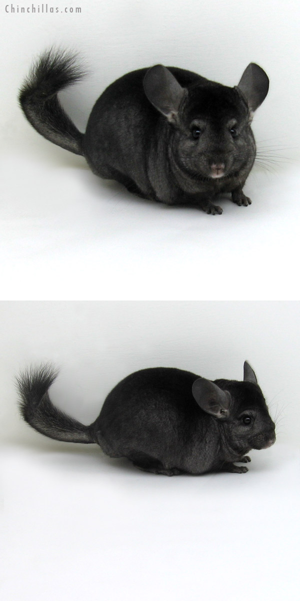 11132 Ebony ( Locken Carrier ) Female Chinchilla
