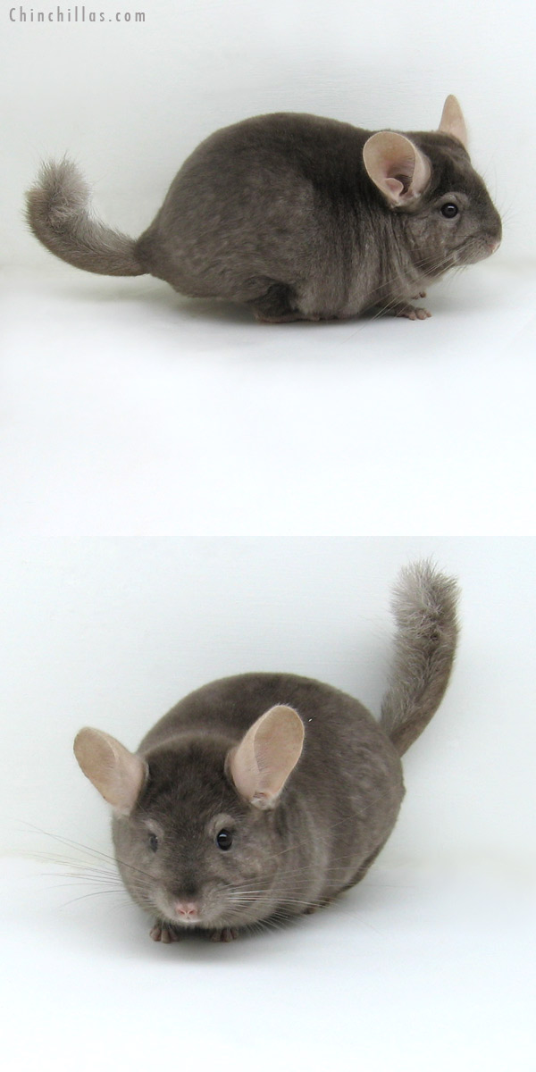 11126 Tan ( Locken Carrier ) Male Chinchilla