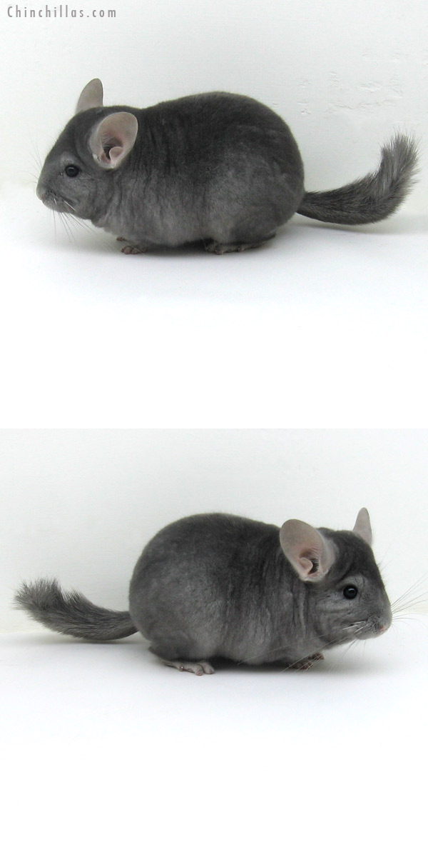 11138 Premium Production Quality Wrap-around Sapphire Female Chinchilla