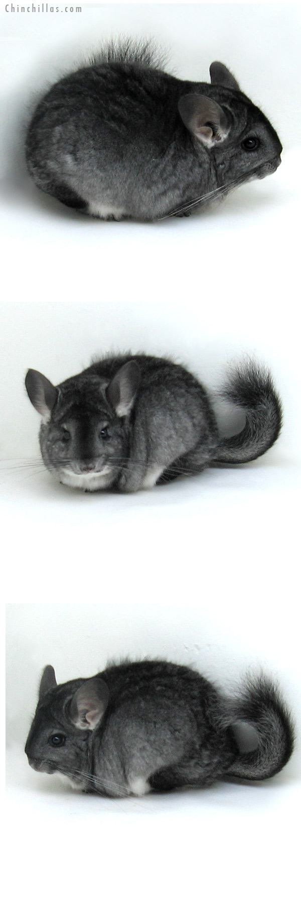 11133 Standard ( Goldbar Carrier ) Female Chinchilla