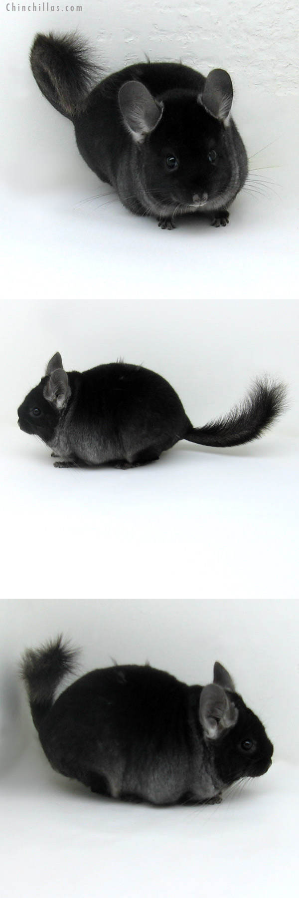 11134 Show Quality TOV Ebony ( Violet Carrier ) Female Chinchilla