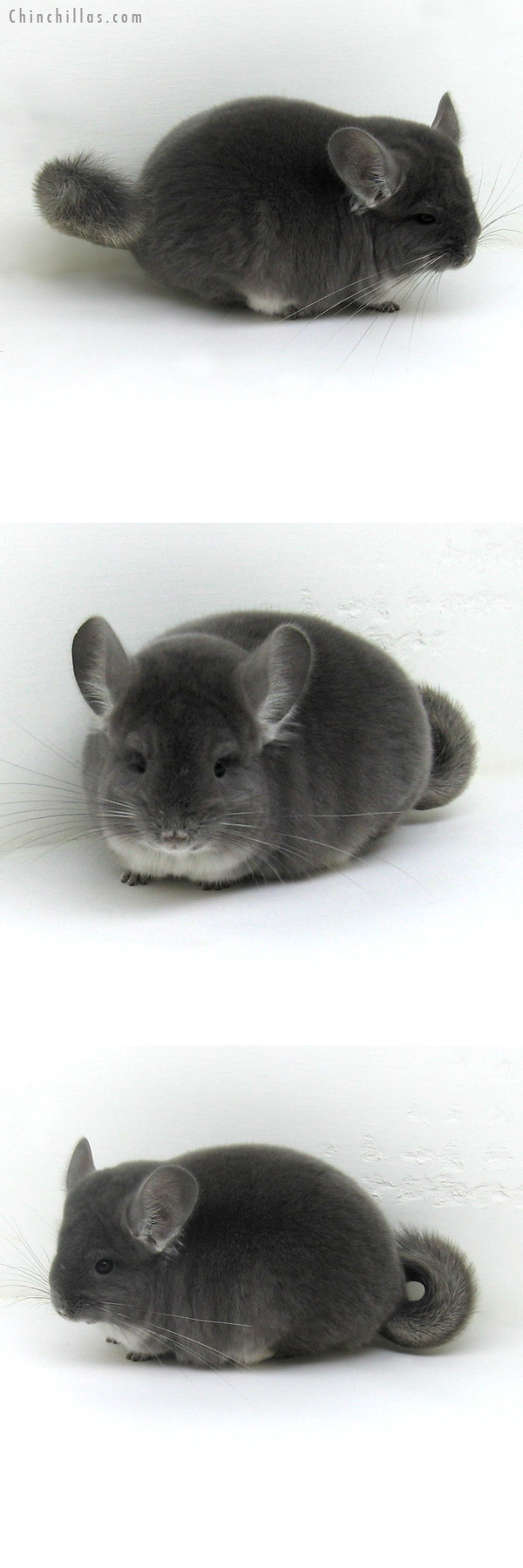 11139 Premium Production Quality Violet ( Ebony Carrier ) Female Chinchilla