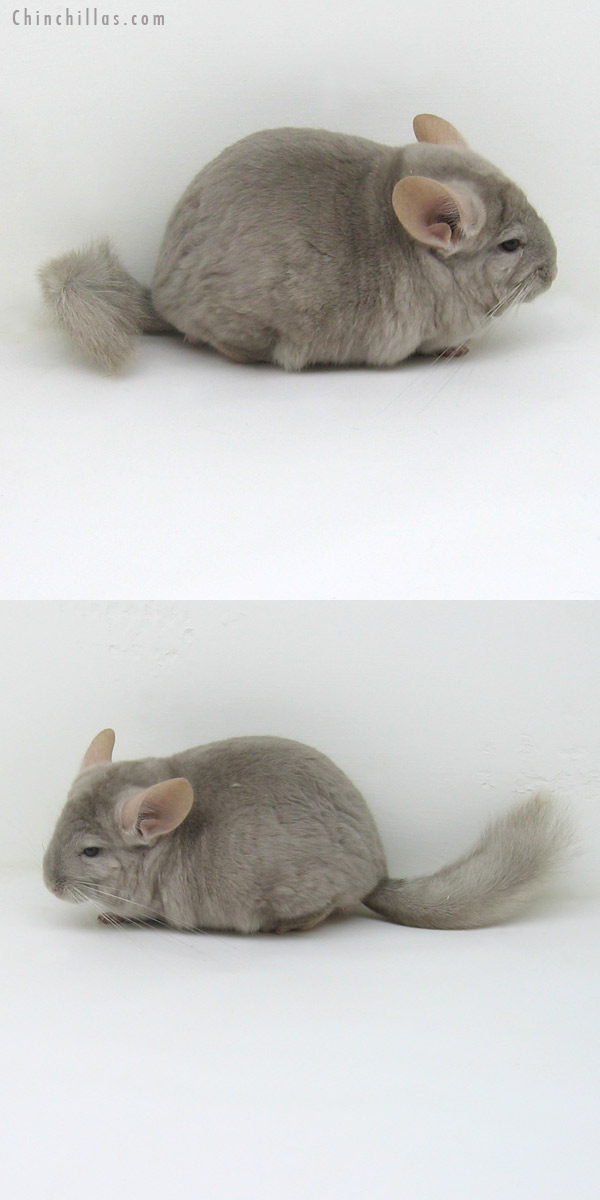 11172 Large Tan / Violet Male Chinchilla