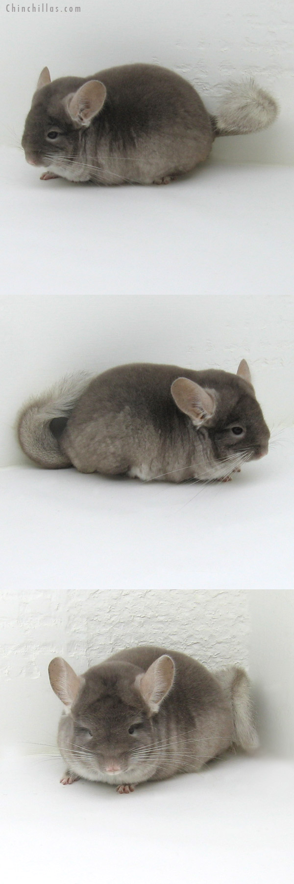 11174 Blocky Premium Production Quality TOV Beige ( Violet Carrier ) Female Chinchilla