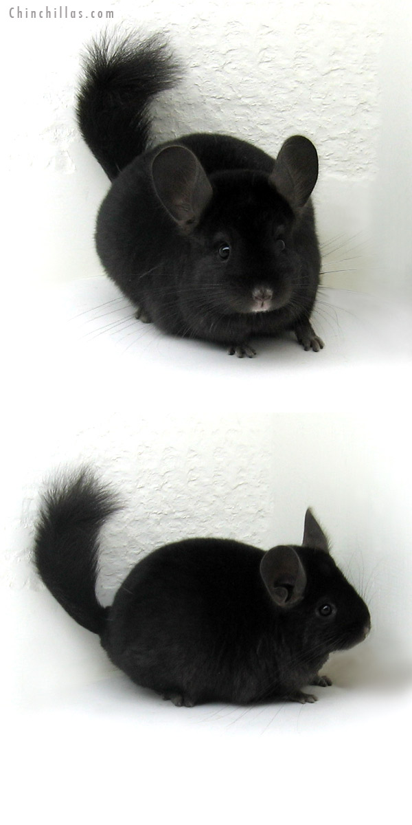11228 Ebony ( Locken Carrier ) Female Chinchilla