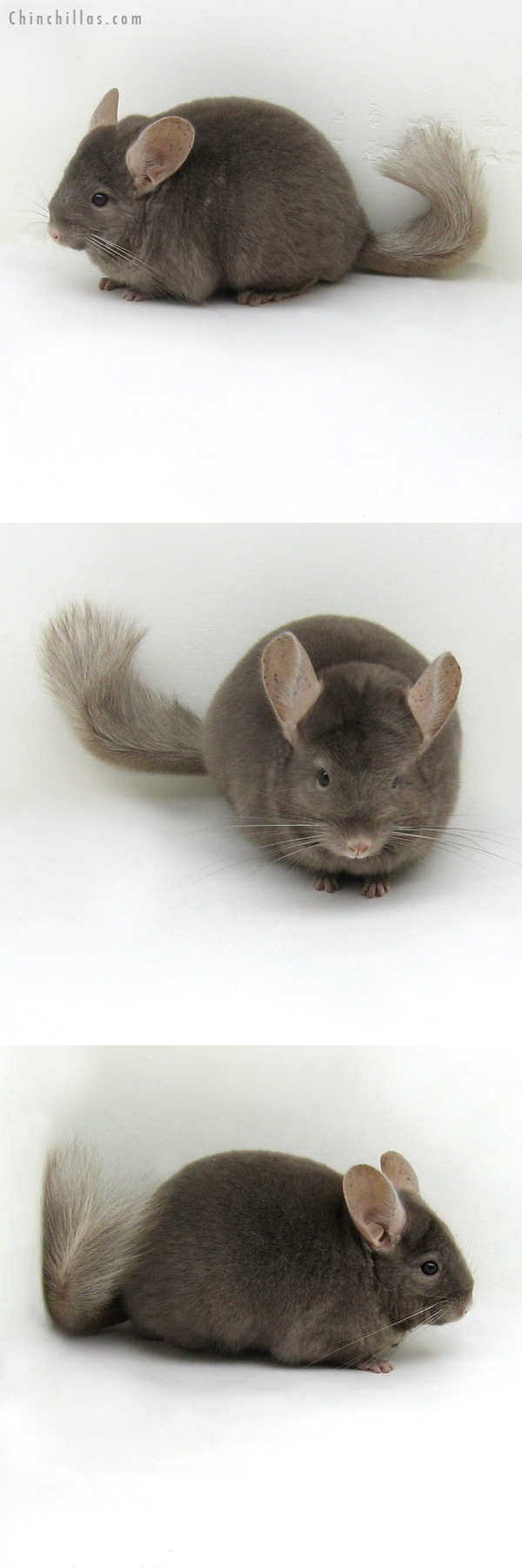 11184 Premium Production Quality Tan Female Chinchilla