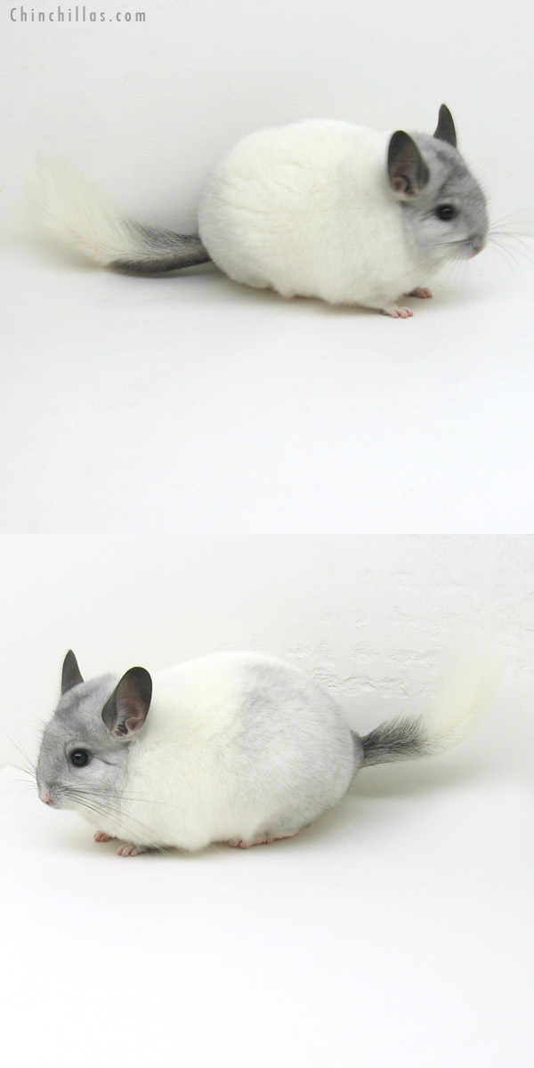 11227 Blocky, Premium Production Quality White Mosaic K887 Daughter Chinchilla