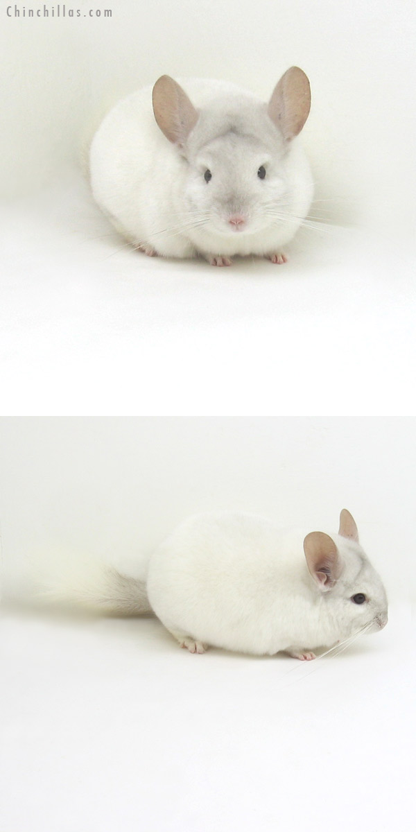 11225 Premium Production Quality Pink White Female Chinchilla