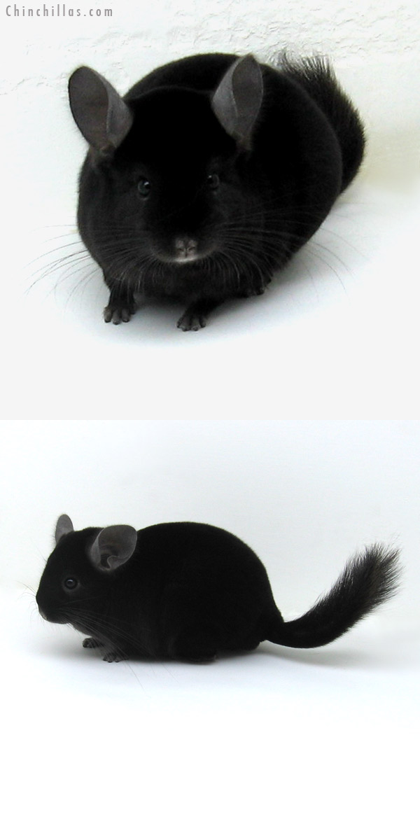 11242 Top Show Quality Ebony Male Chinchilla