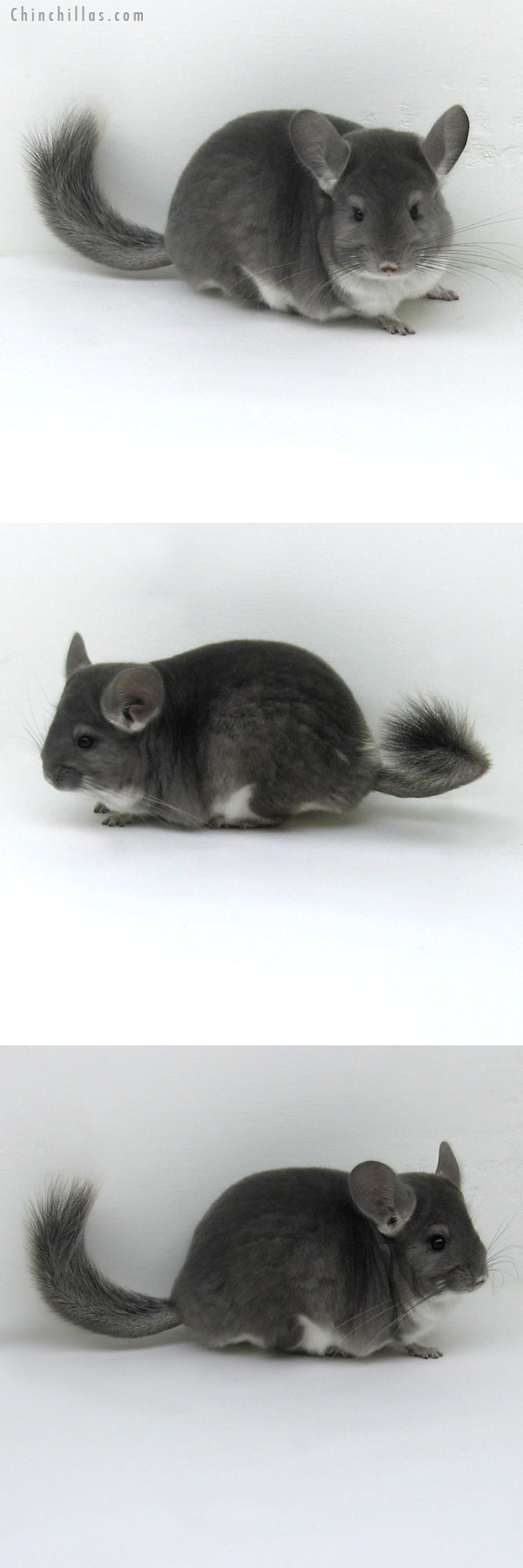 11244 Premium Production Quality Violet Female Chinchilla
