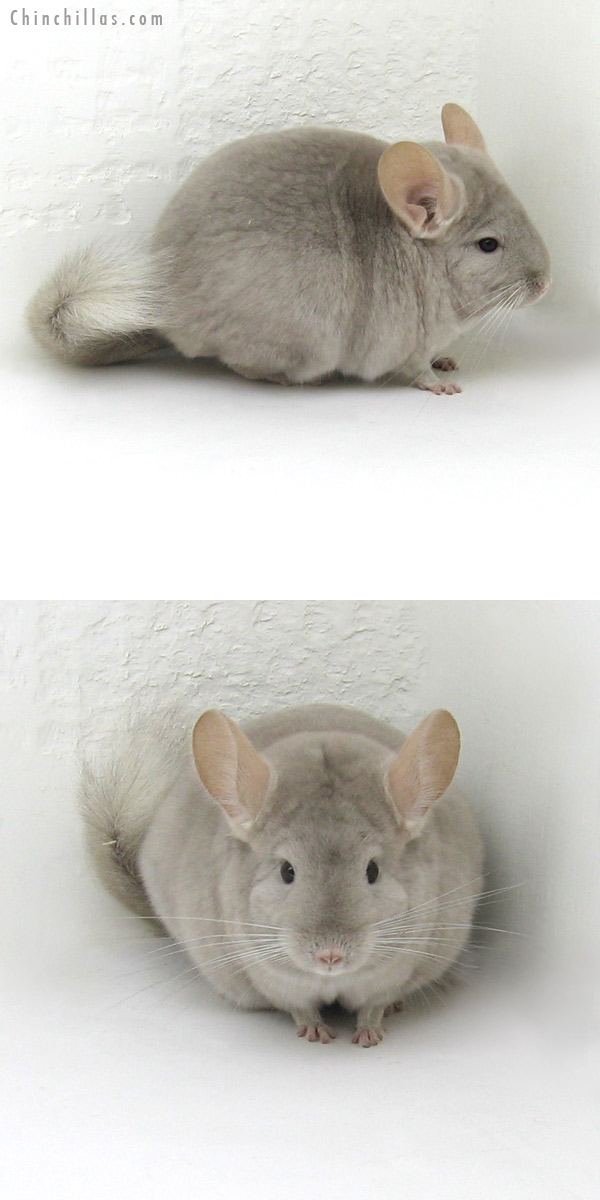 11246 Show Quality Beige/Violet Female Chinchilla