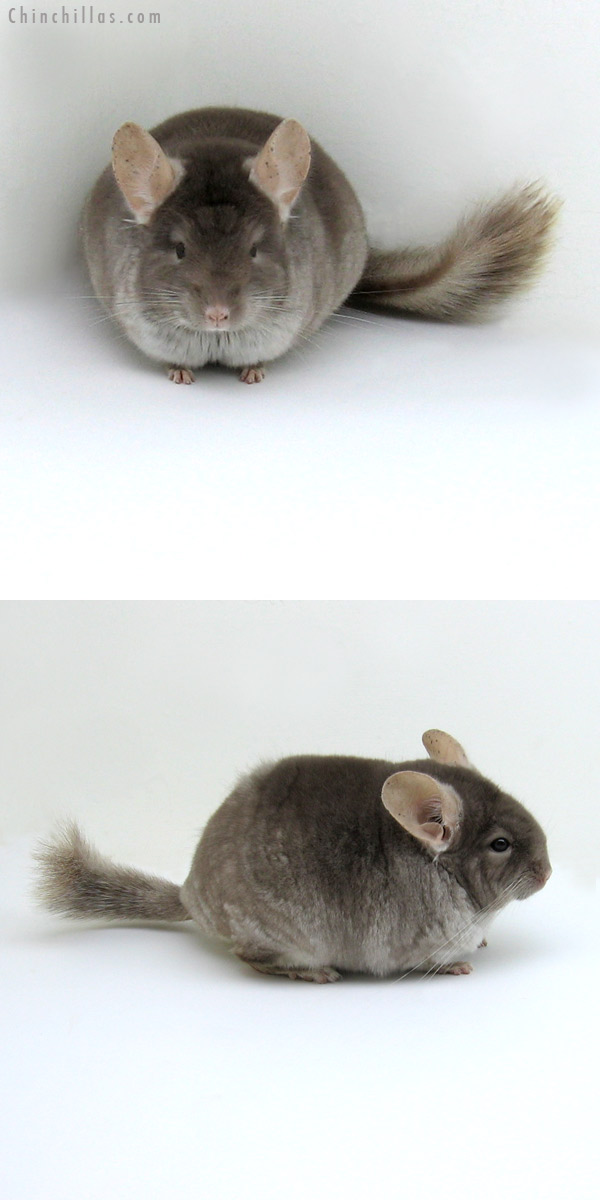 11253 Show Quality TOV Beige / Brown Velvet Female Chinchilla