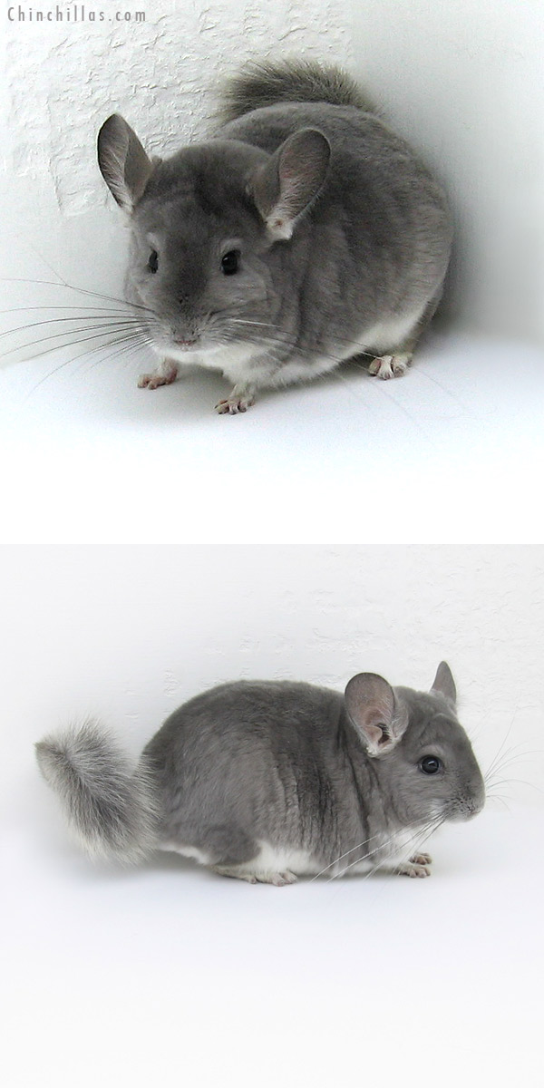 11250 Violet Male Chinchilla