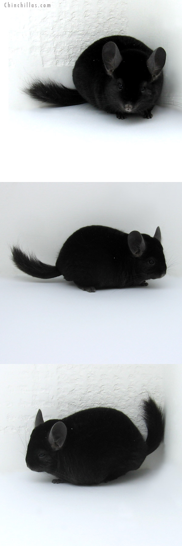 11251 Show Quality Ebony Male Chinchilla