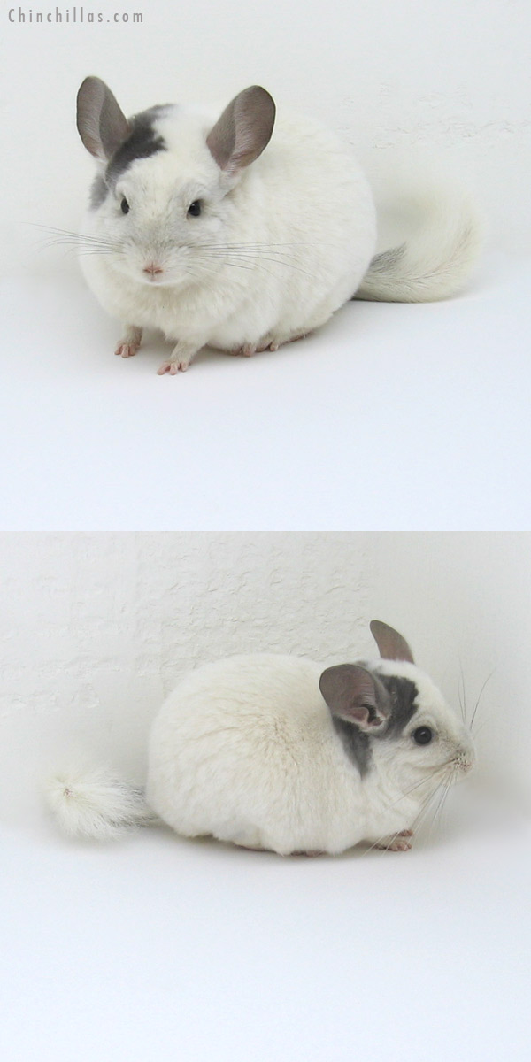 11248 Large Show Quality Violet & White Mosaic Female Chinchilla