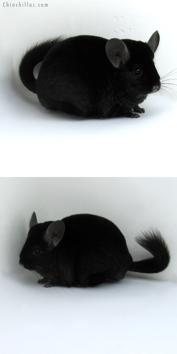 11255 Large Premium Production Quality Ebony Female Chinchilla