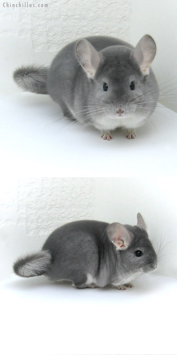 12003 Blue Diamond Male Chinchilla