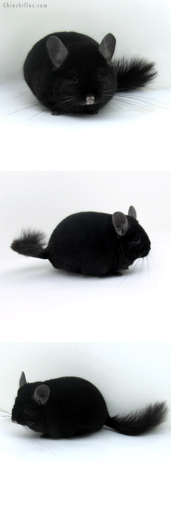 12013 Herd Improvement Quality Ebony Male Chinchilla