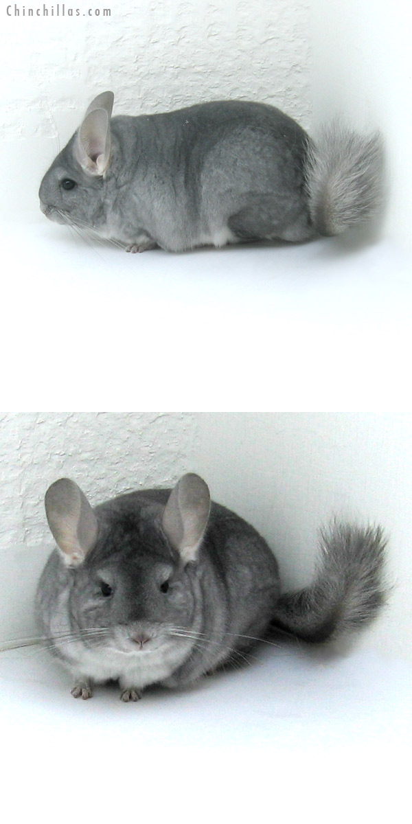 12010 Premium Production Quality Sapphire Female Chinchilla