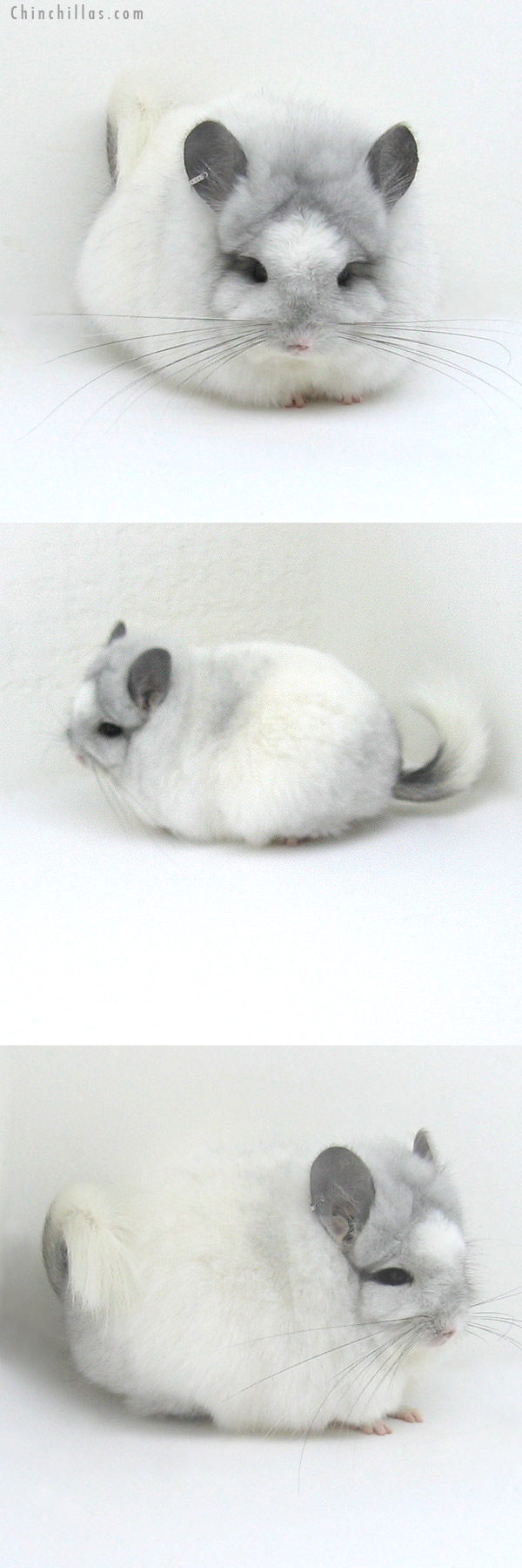 12007 Exceptional White Mosaic Royal Persian Angora Female Chinchilla