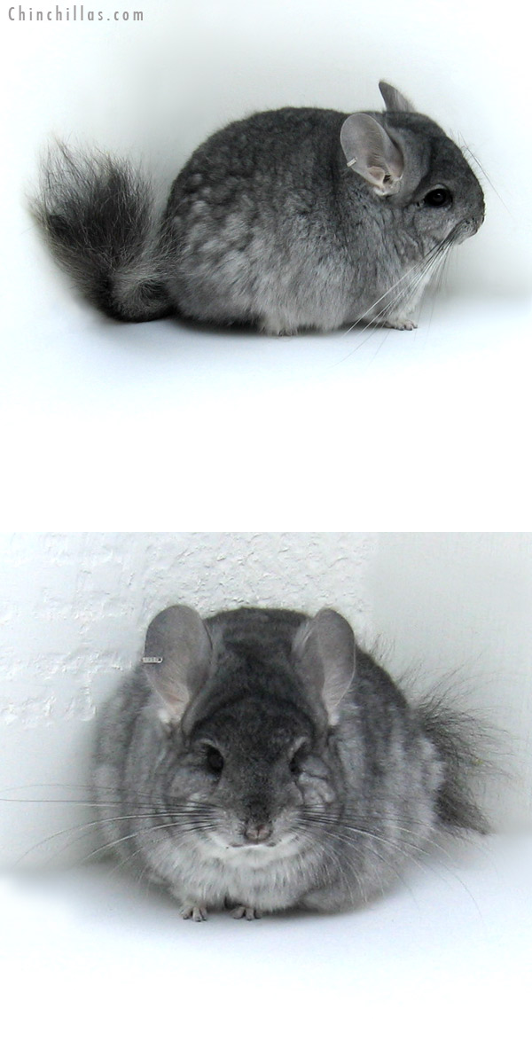 12001 Standard Royal Persian Angora Male Chinchilla