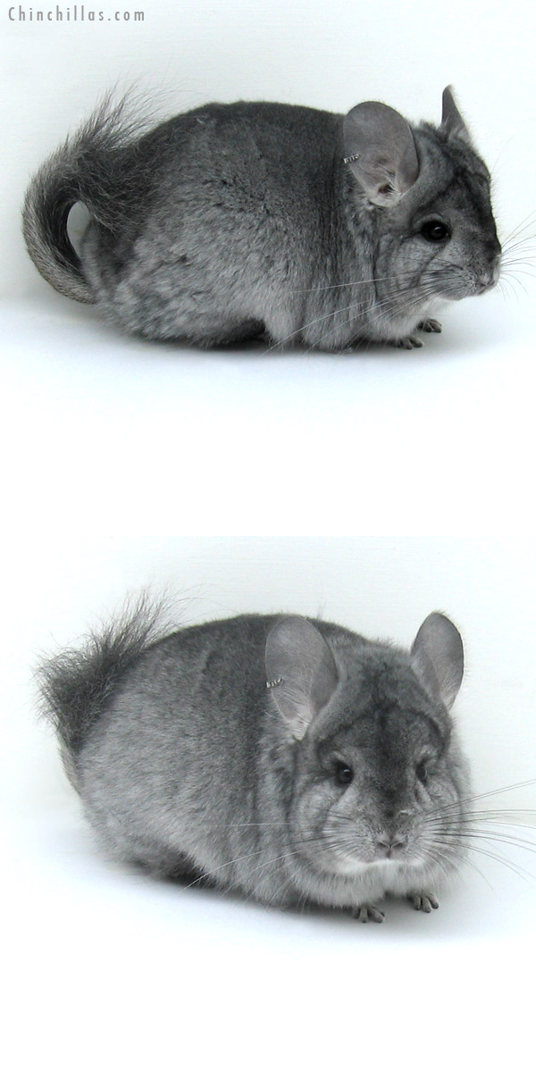 12011 Standard Royal Persian Angora Female Chinchilla