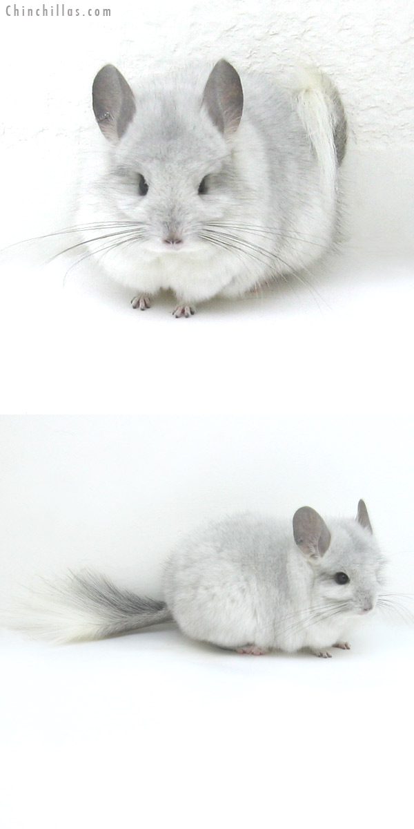 12012 Silver Mosaic Royal Persian Angora Male Chinchilla
