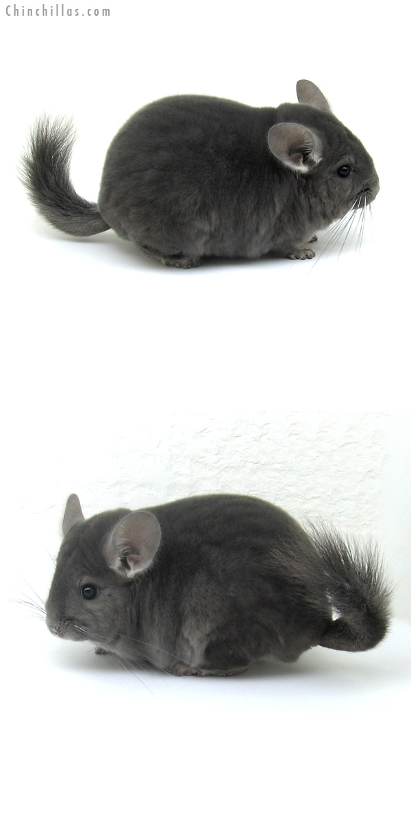 12030 Show Quality Wrap around Violet Male Chinchilla