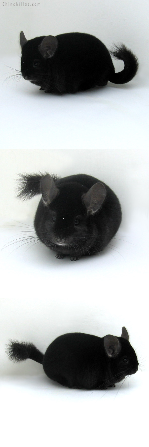 12029 Herd Improvement Quality Ebony Male Chinchilla