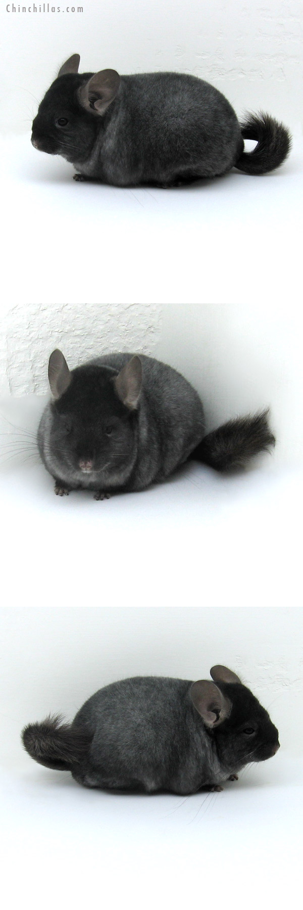 12041 Premium Production Quality TOV Silver Ebony Female Chinchilla