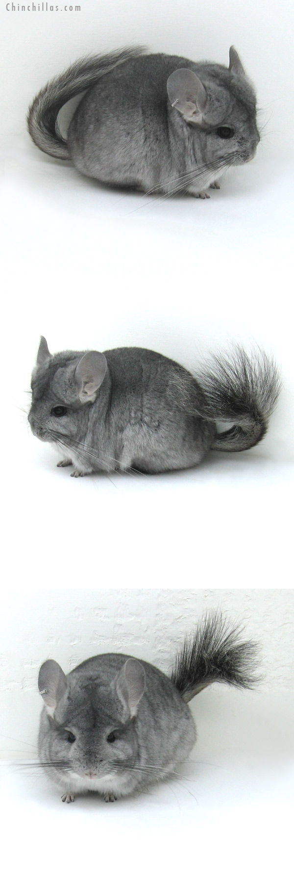 12040 Standard Royal Persian Angora Female Chinchilla