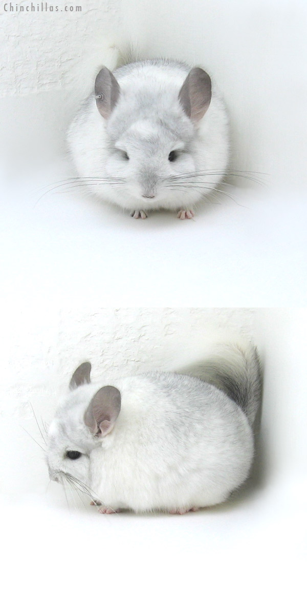 12036 White Mosaic Royal Persian Angora Male Chinchilla