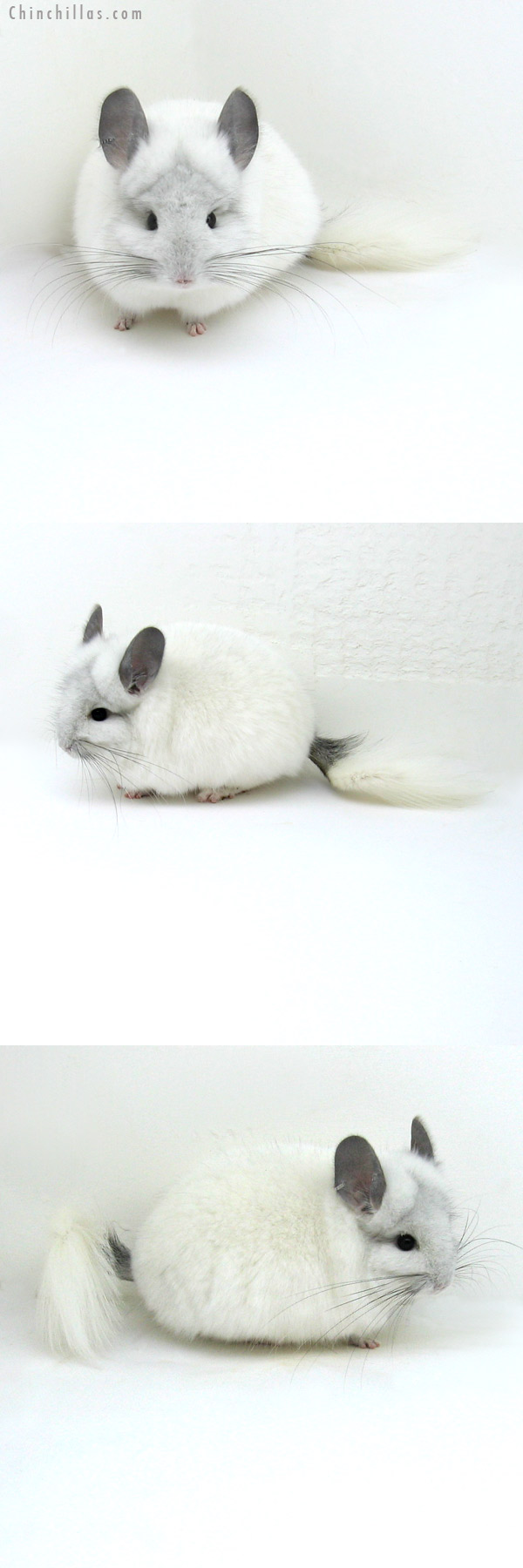 12037 White Mosaic Royal Persian Angora Male Chinchilla