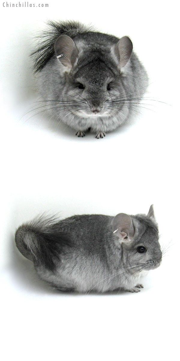 12046 Standard Royal Persian Angora Female Chinchilla