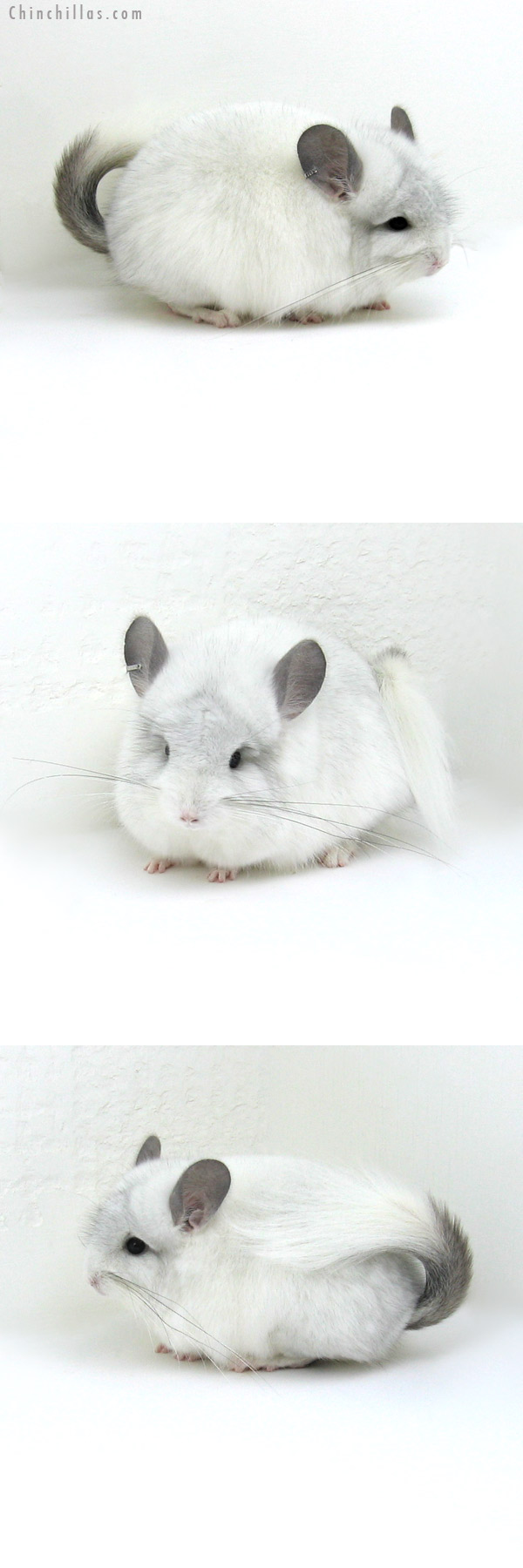 12047 White Mosaic Royal Persian Angora Female Chinchilla