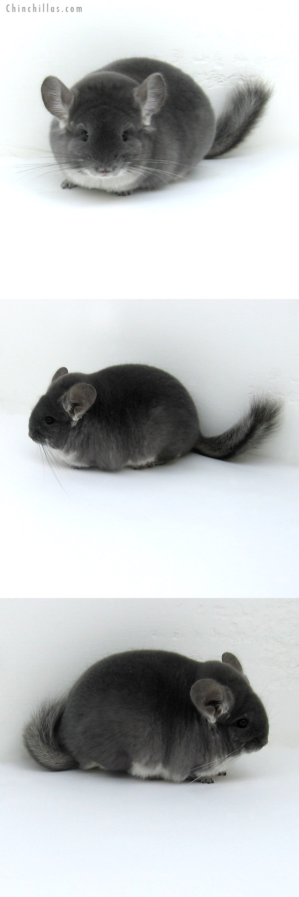 12068 Top Show Quality TOV Violet Male Chinchilla