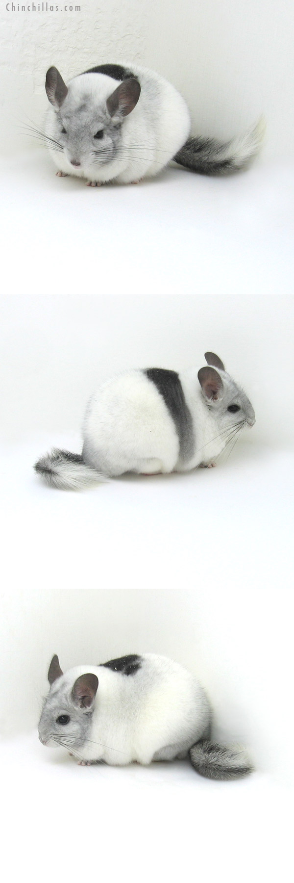 12067 Blocky, Herd Improvement Quality Extreme White Mosaic Male Chinchilla
