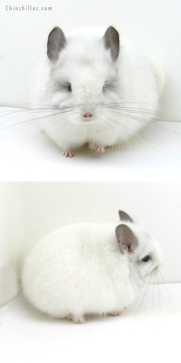 12080 Exceptional White Mosaic Royal Persian Angora Female Chinchilla
