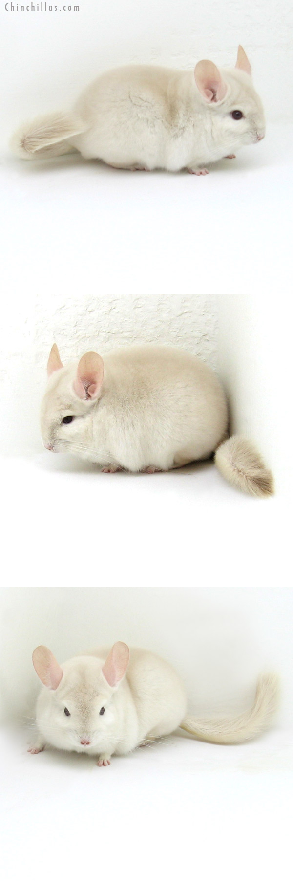 12074 Goldbar Male Chinchilla