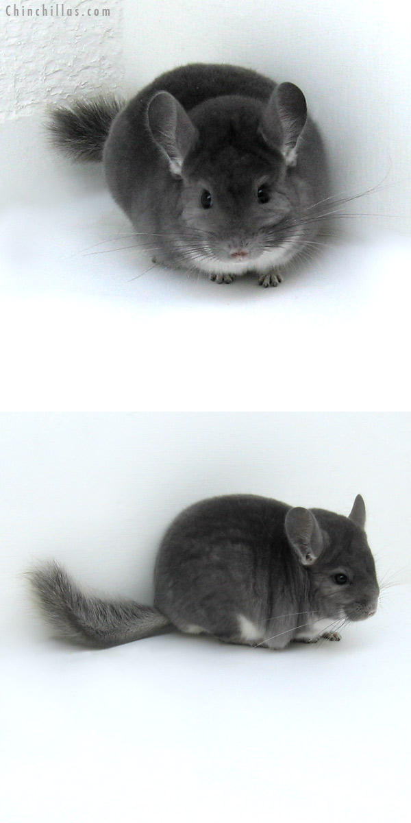 12069 Top Show Quality Violet Male Chinchilla