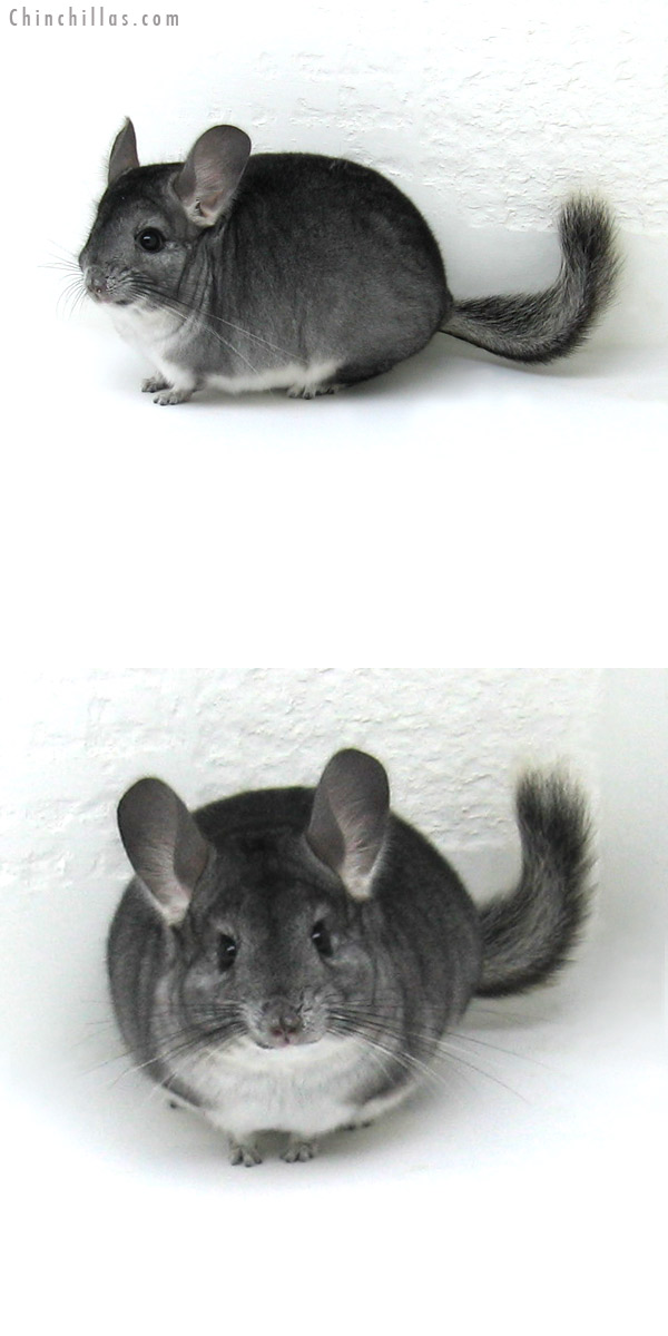 12070 Standard ( Goldbar Carrier ) Female Chinchilla