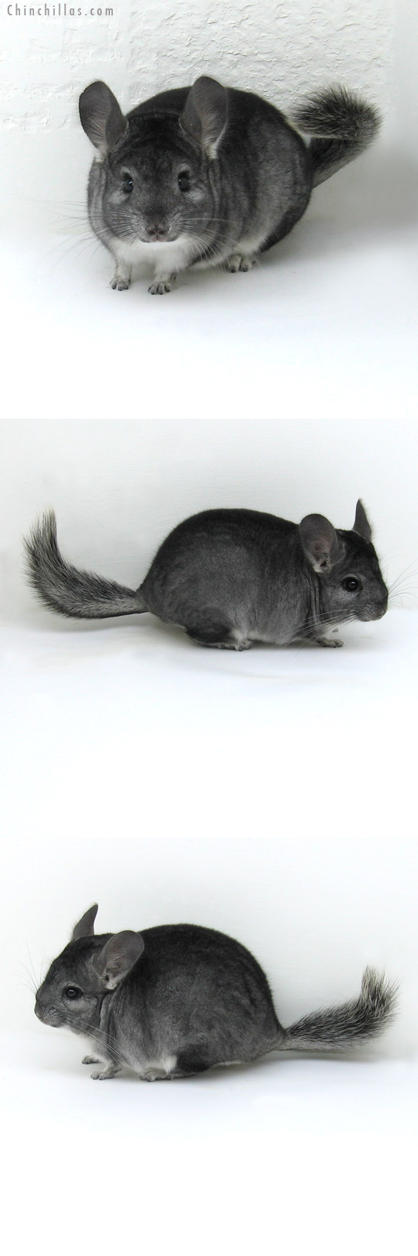12073 Standard ( Goldbar Carrier ) Male Chinchilla