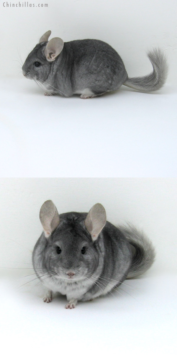 12076 Premium Production Quality Sapphire Female Chinchilla