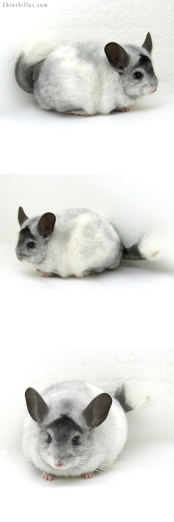 12096 Large White Mosaic ( Locken Carrier & Ebony Carrier ) Male Chinchilla