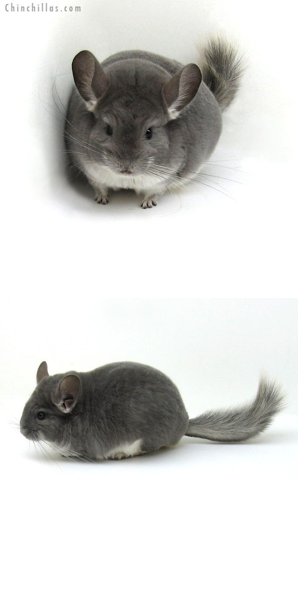12100 Violet Female Chinchilla
