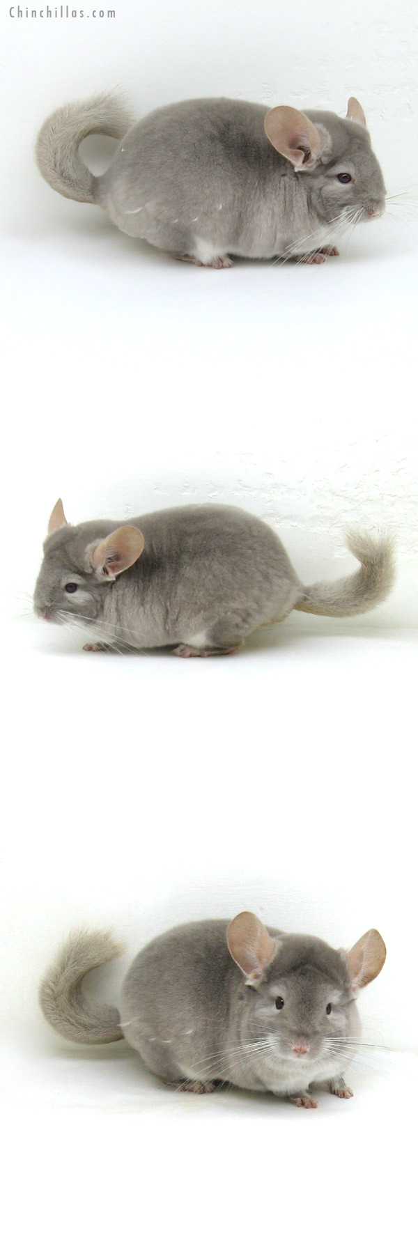 12105 Top Show Quality TOV Beige/Violet Male Chinchilla
